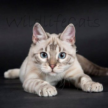 Silvia Hahner (wildlifecats)
